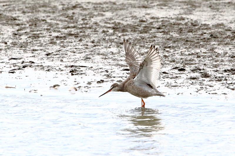 沼のツルシギが羽を開く_e0385660_09181412.jpg