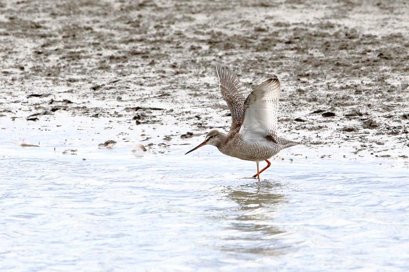 沼のツルシギが羽を開く_e0385660_10533441.jpg