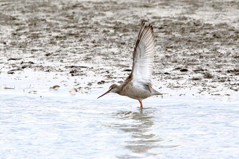 沼のツルシギが羽を開く_e0385660_10544066.jpg