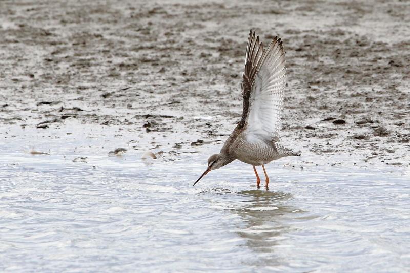 沼のツルシギが羽を開く_e0385660_10550542.jpg