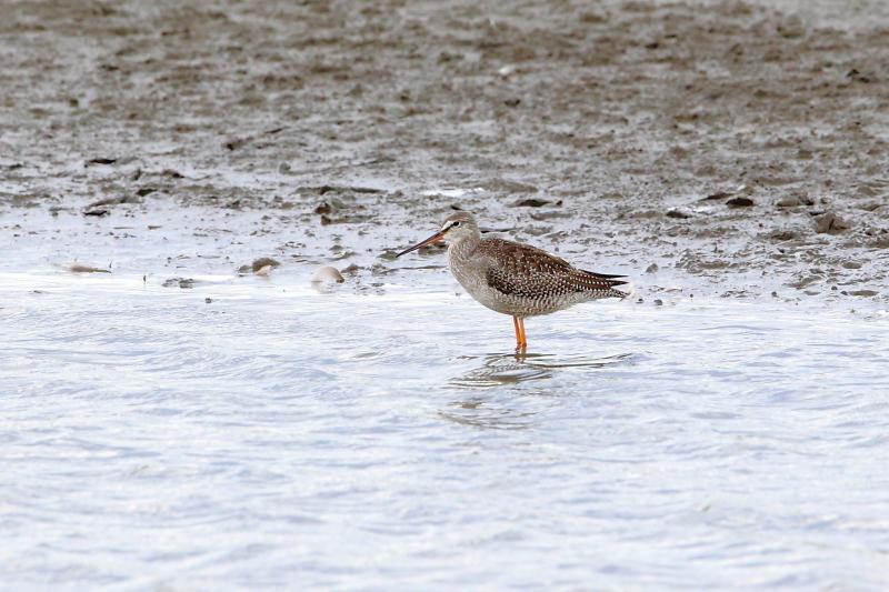 沼のツルシギが羽を開く_e0385660_10555560.jpg