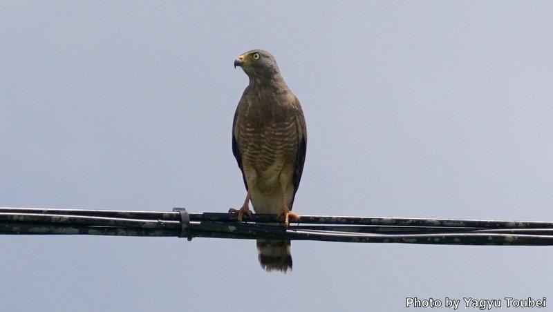 ベリーズ 道路脇のホエザルと野鳥_b0132475_20445176.jpg