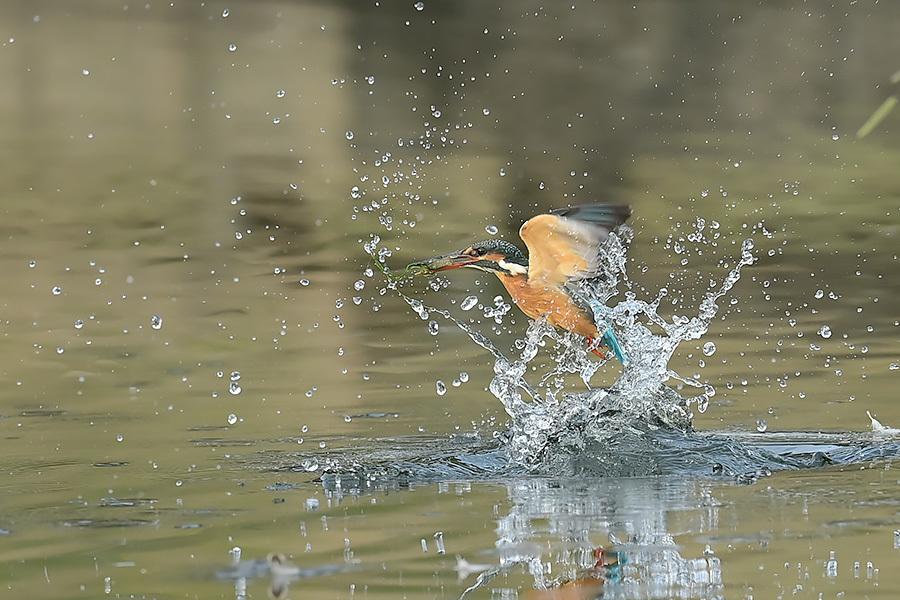 201028 池の若雌出悪し、帰り掛け川に_c0278820_14534517.jpg