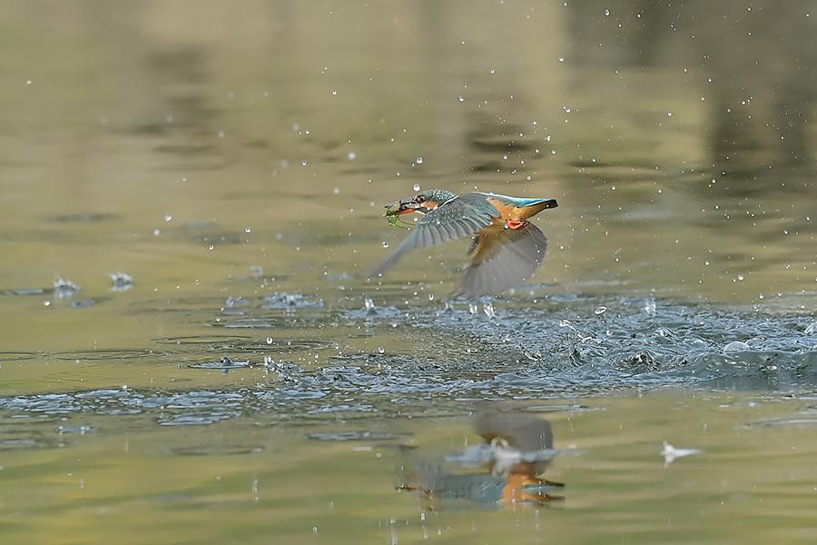 201028 池の若雌出悪し、帰り掛け川に_c0278820_14561243.jpg