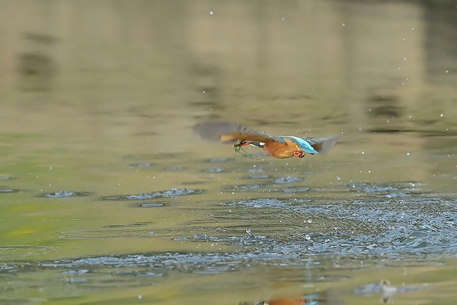 201028 池の若雌出悪し、帰り掛け川に_c0278820_14565795.jpg