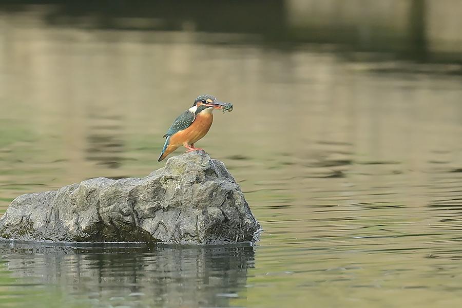 201028 池の若雌出悪し、帰り掛け川に_c0278820_14575810.jpg