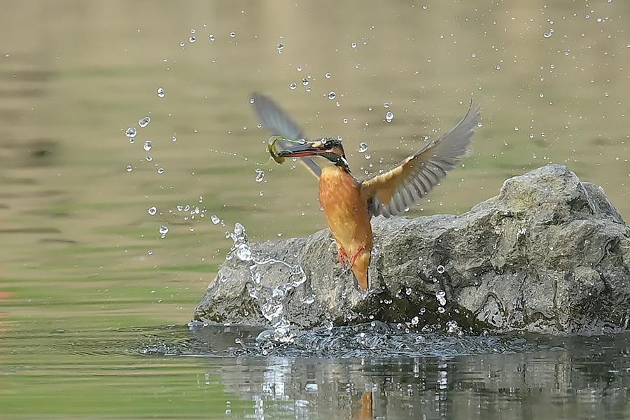 201028 池の若雌出悪し、帰り掛け川に_c0278820_15042288.jpg