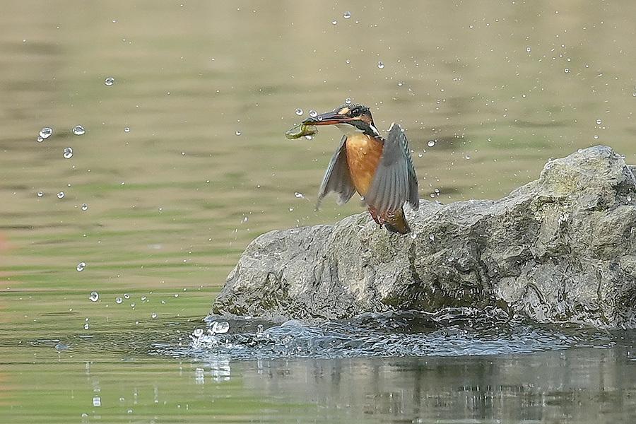 201028 池の若雌出悪し、帰り掛け川に_c0278820_15050031.jpg