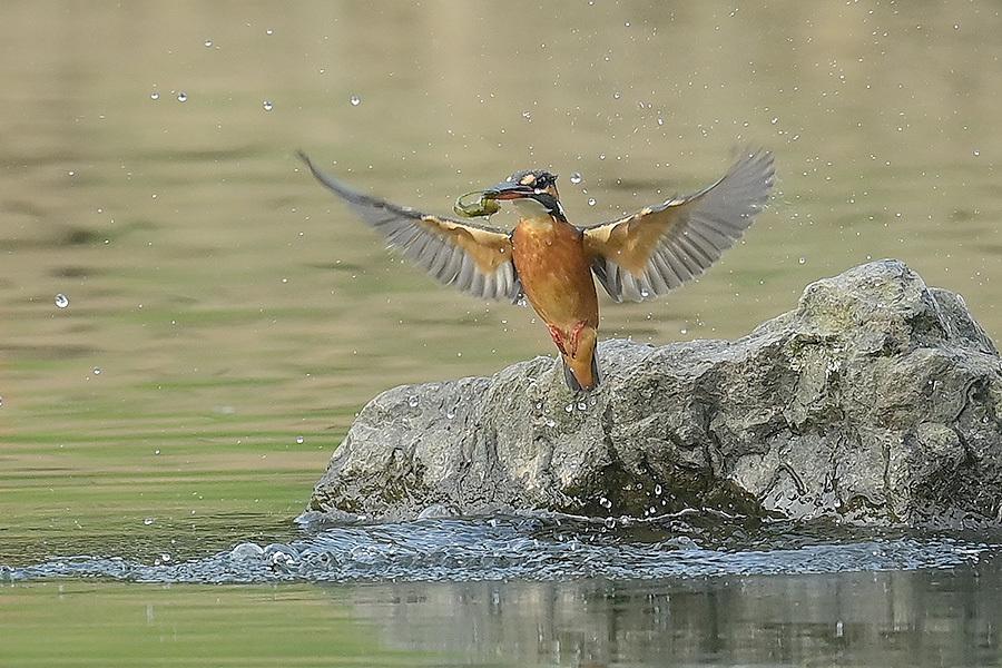 201028 池の若雌出悪し、帰り掛け川に_c0278820_15053380.jpg