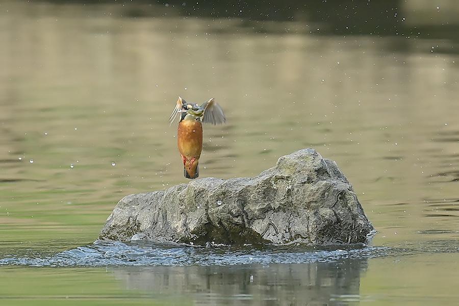 201028 池の若雌出悪し、帰り掛け川に_c0278820_15060761.jpg