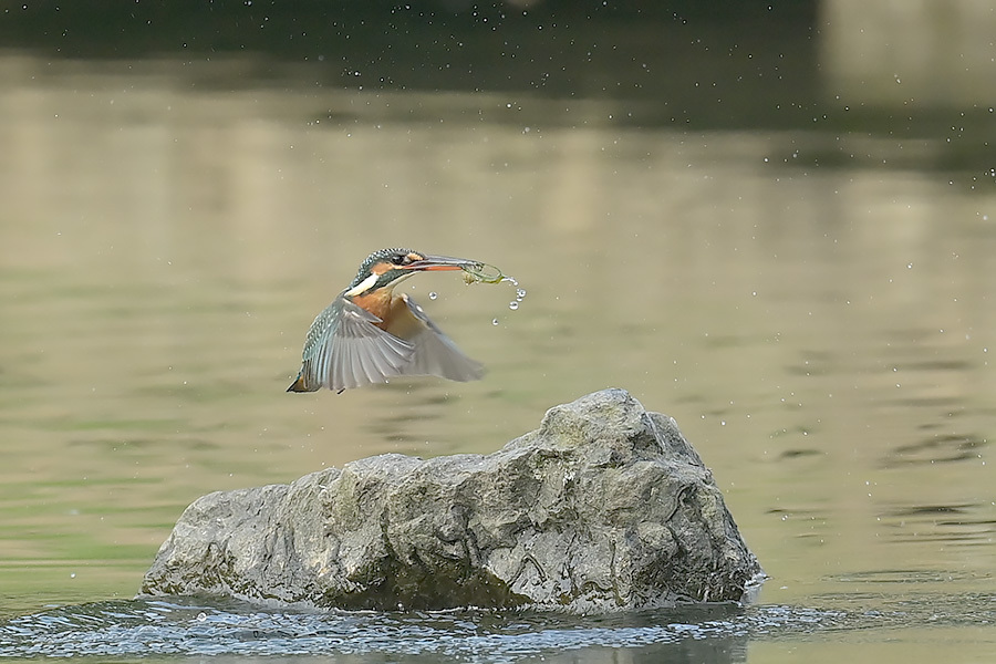 201028 池の若雌出悪し、帰り掛け川に_c0278820_15063997.jpg