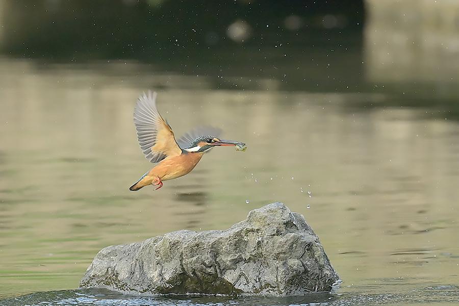 201028 池の若雌出悪し、帰り掛け川に_c0278820_15071389.jpg