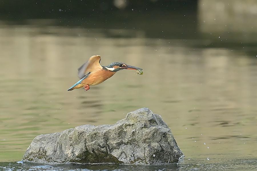 201028 池の若雌出悪し、帰り掛け川に_c0278820_15074915.jpg