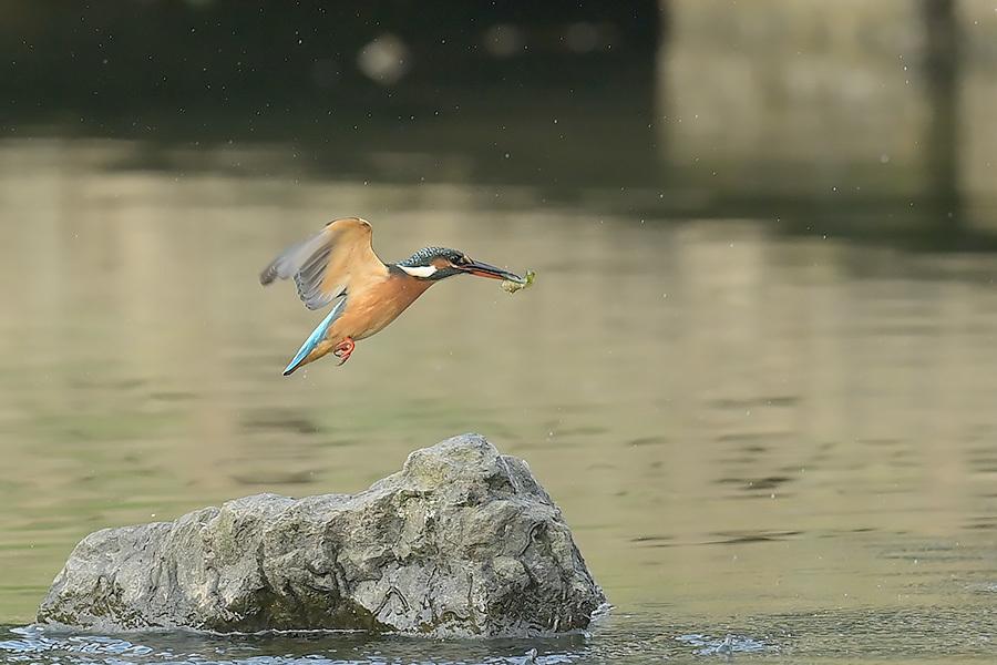 201028 池の若雌出悪し、帰り掛け川に_c0278820_15082368.jpg