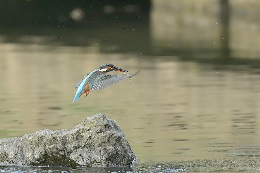 201028 池の若雌出悪し、帰り掛け川に_c0278820_15085678.jpg