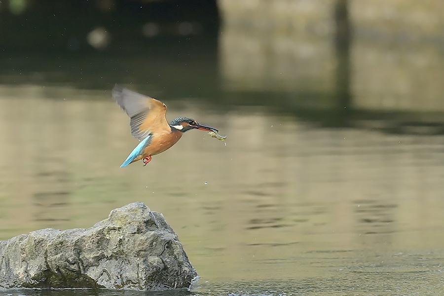 201028 池の若雌出悪し、帰り掛け川に_c0278820_15093114.jpg