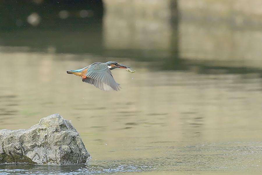201028 池の若雌出悪し、帰り掛け川に_c0278820_15100814.jpg