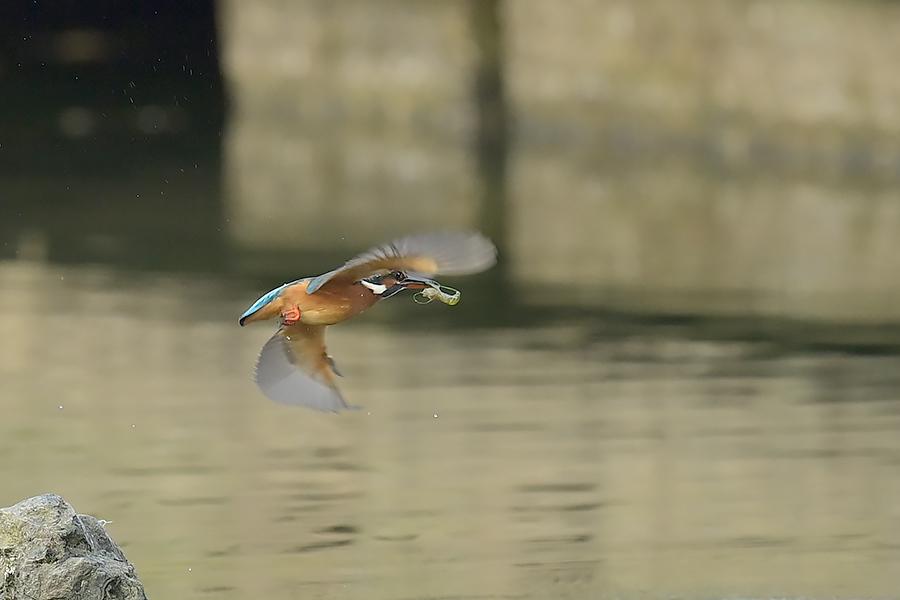 201028 池の若雌出悪し、帰り掛け川に_c0278820_15104212.jpg
