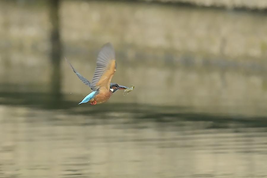 201028 池の若雌出悪し、帰り掛け川に_c0278820_15112256.jpg