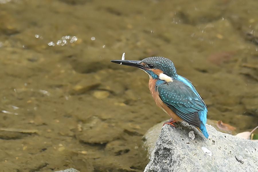 201028 池の若雌出悪し、帰り掛け川に_c0278820_15274847.jpg