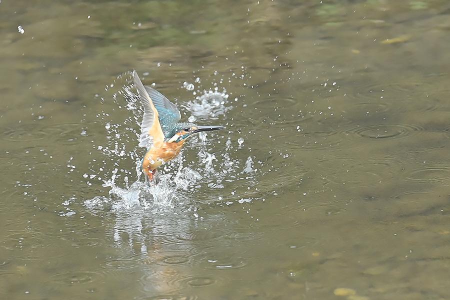 201028 池の若雌出悪し、帰り掛け川に_c0278820_15322097.jpg