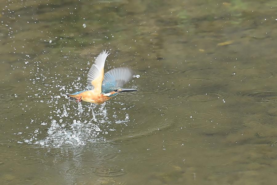 201028 池の若雌出悪し、帰り掛け川に_c0278820_15340158.jpg
