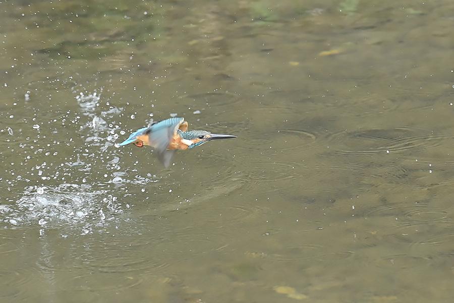 201028 池の若雌出悪し、帰り掛け川に_c0278820_15343674.jpg
