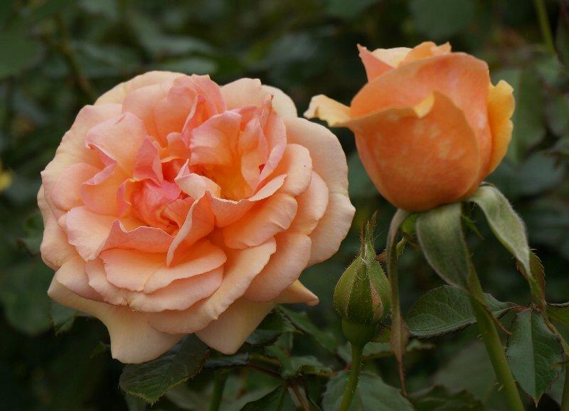 フラワーセンターのオバケカボチャと薔薇の花_e0021129_20313445.jpg