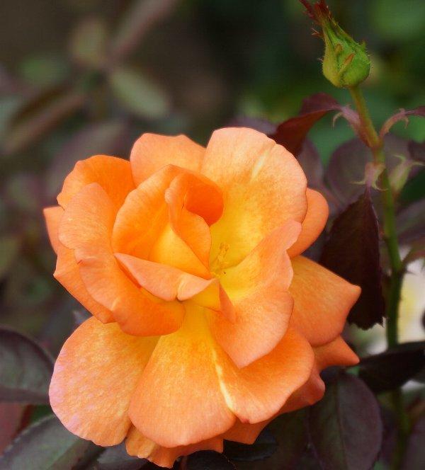 フラワーセンターのオバケカボチャと薔薇の花_e0021129_20314998.jpg