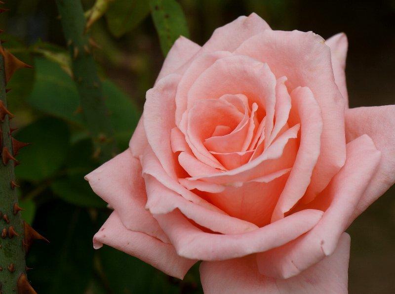フラワーセンターのオバケカボチャと薔薇の花_e0021129_20322439.jpg