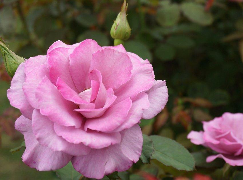 フラワーセンターのオバケカボチャと薔薇の花_e0021129_20325096.jpg