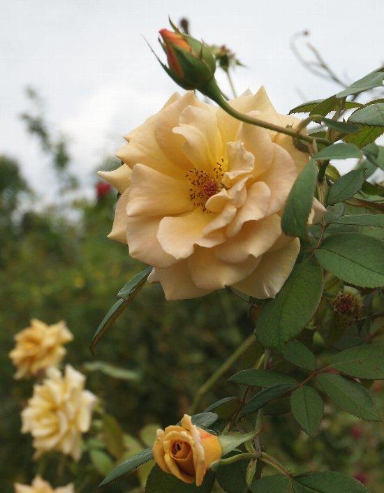 フラワーセンターのオバケカボチャと薔薇の花_e0021129_20334222.jpg