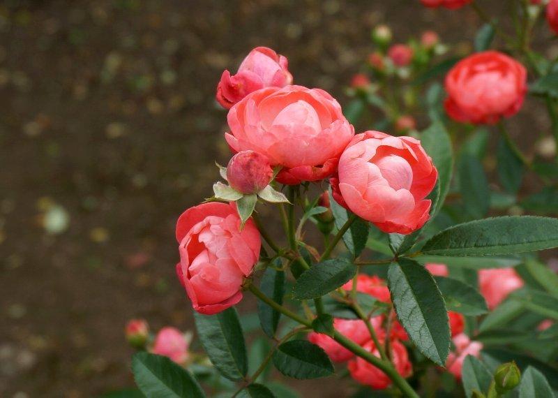 フラワーセンターのオバケカボチャと薔薇の花_e0021129_21184537.jpg