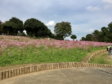 昭和記念公園のコスモス_f0002533_19225918.jpeg