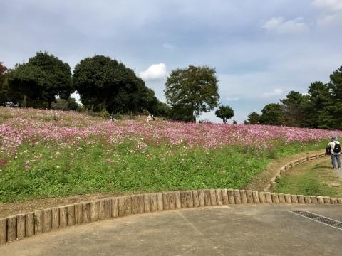 昭和記念公園のコスモス_f0002533_19235785.jpeg