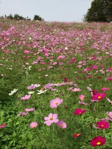昭和記念公園のコスモス_f0002533_19411661.jpeg
