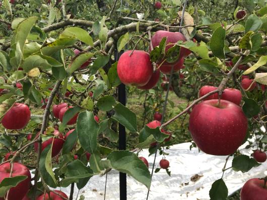 散歩コースの空とリンゴ_d0107787_10110467.jpg