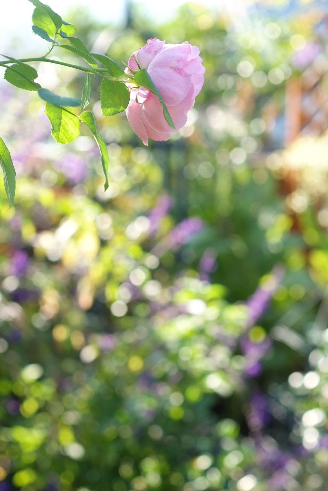 秋バラの咲く庭と野ブドウ(10月21日)_b0075541_11574872.jpg