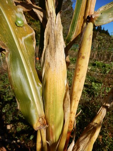 自然農の畑 10月中旬~下旬_d0366590_06013327.jpg