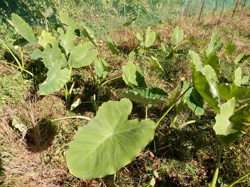 自然農の畑 10月中旬~下旬_d0366590_06162384.jpg