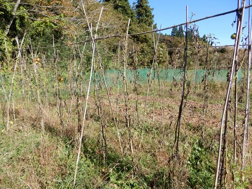 自然農の畑 10月中旬~下旬_d0366590_06201141.jpg