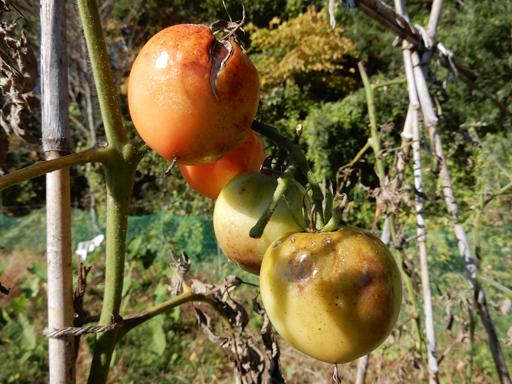 自然農の畑 10月中旬~下旬_d0366590_06203506.jpg