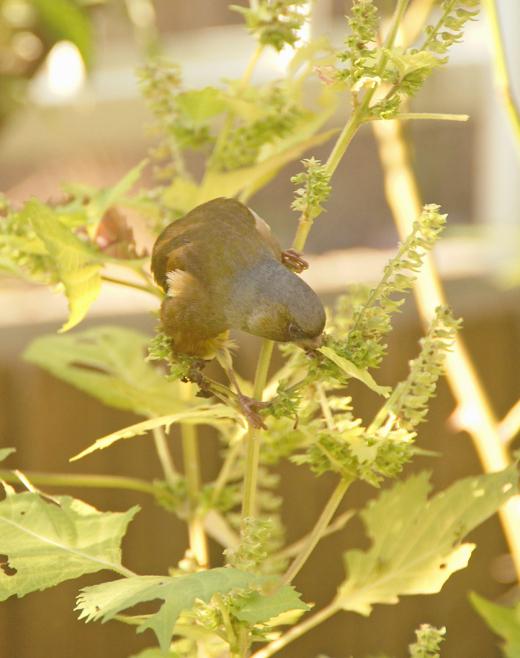 ユッカ(青年の木)の花/青紫蘇の実とカワラヒワ(野鳥)/一体型マスク_c0139591_21373357.jpg