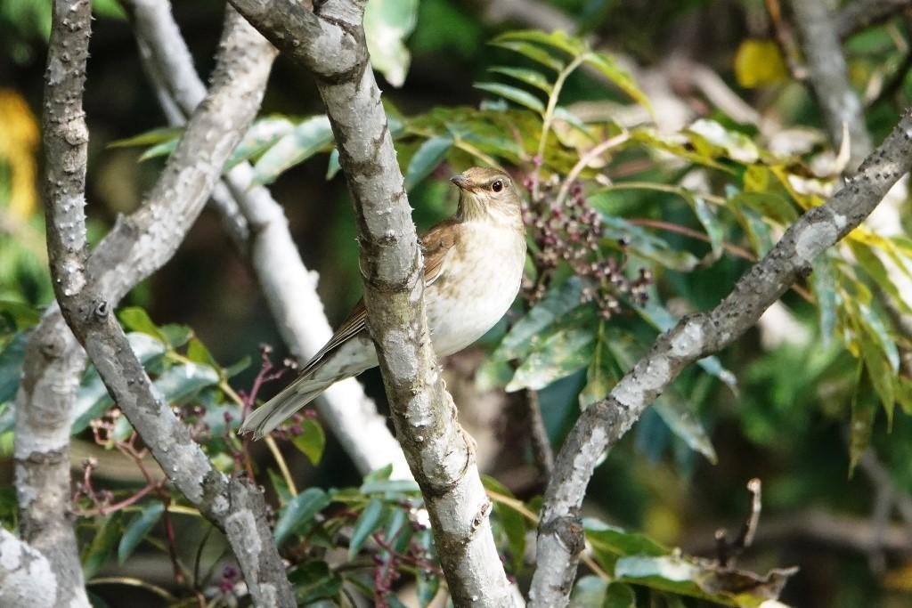 野鳥トレ229 マミチャジナイとシロハラ_b0227552_19322265.jpg