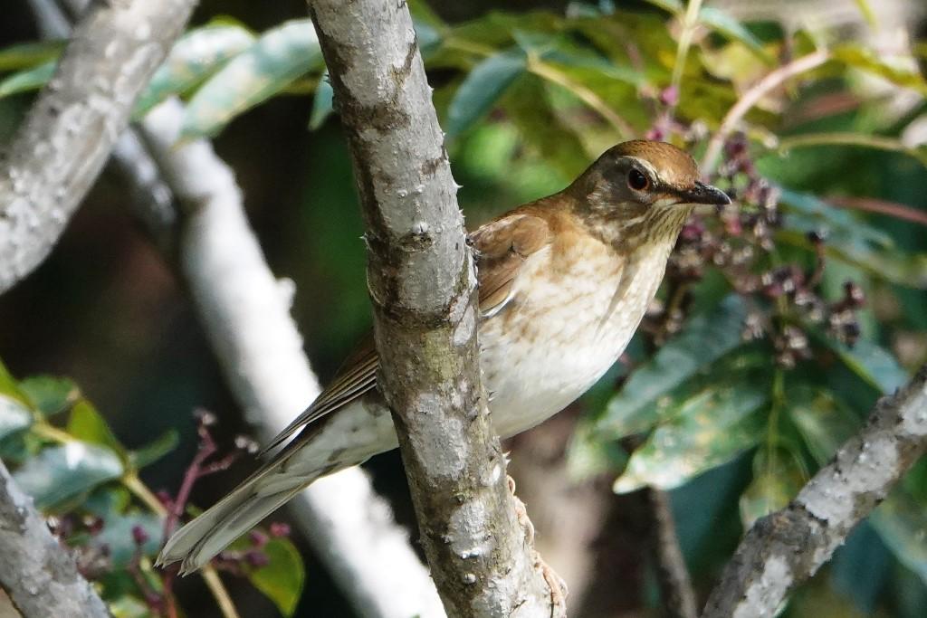 野鳥トレ229 マミチャジナイとシロハラ_b0227552_19323558.jpg