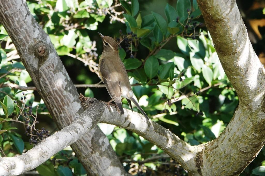 野鳥トレ229 マミチャジナイとシロハラ_b0227552_19334649.jpg