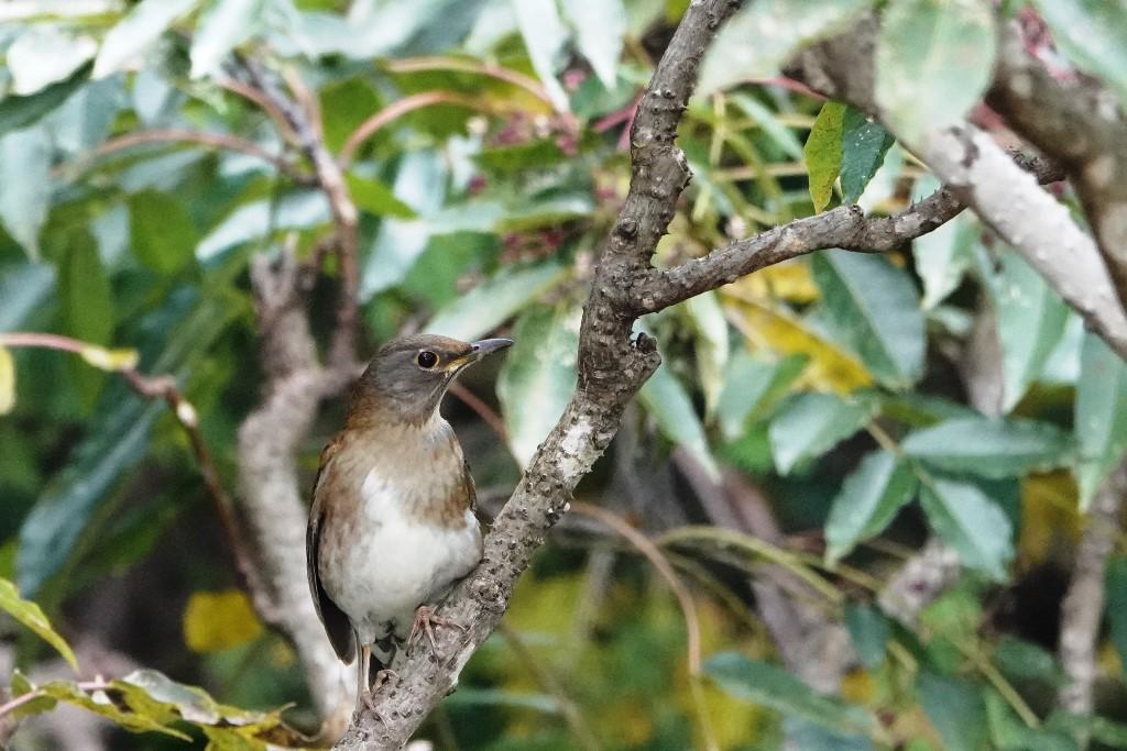 野鳥トレ229 マミチャジナイとシロハラ_b0227552_19341214.jpg