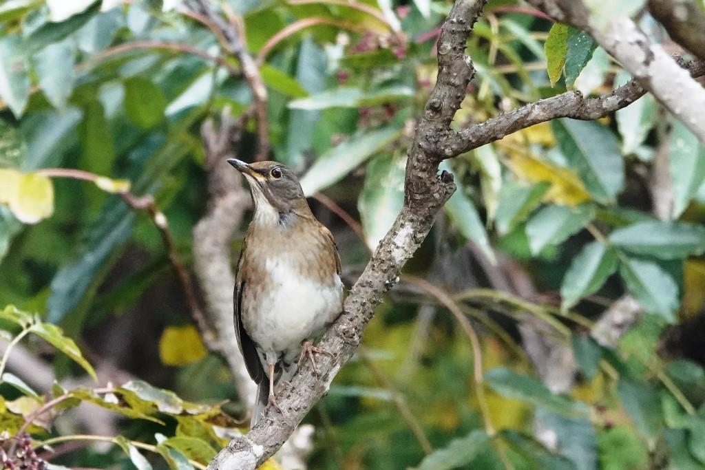 野鳥トレ229 マミチャジナイとシロハラ_b0227552_19342757.jpg