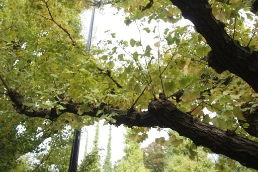 外苑銀杏並木 ~青山~_b0207284_17085138.jpg