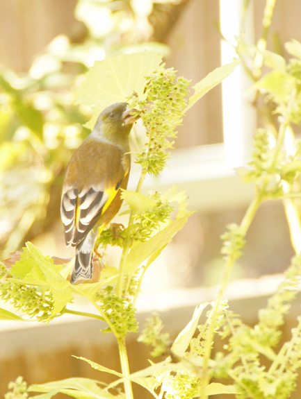 ユッカ(青年の木)の花/青紫蘇の実とカワラヒワ(野鳥)/一体型マスク_c0139591_00300093.jpg